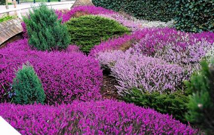 Ogródek wrzosowy