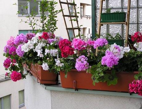 pelargonie balkon