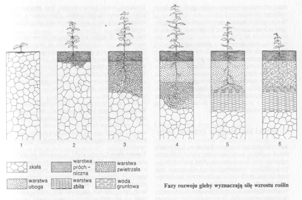 Fazy rozwoju gleby wyznaczają silę wzrostu roślin