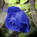 Jak zabarwić różę na niebiesko